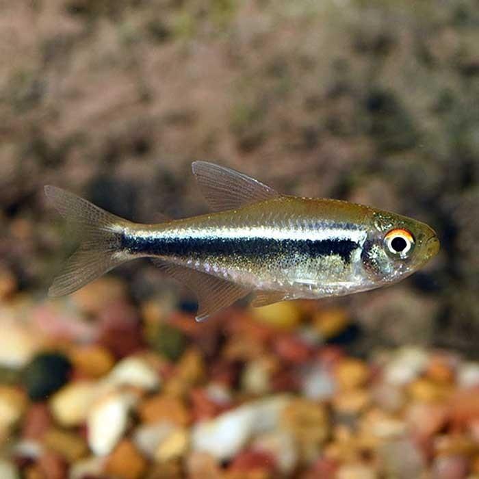 Black Neon Tetra Petbarn In 2020 Neon Tetra Tropical Fish Fish