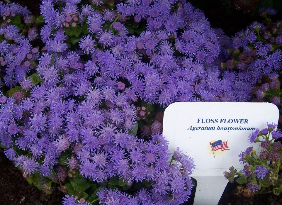Photo Floss Flower Ageratum Houstonianum Garden Pictures Cool Plants Garden Landscaping