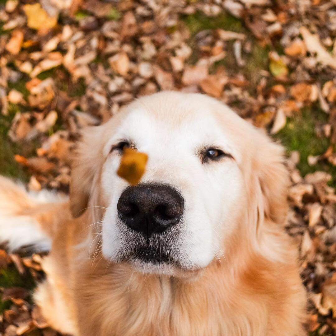 Golden Retriever Puppa Tavish From Maine Catching A Treat Dogs