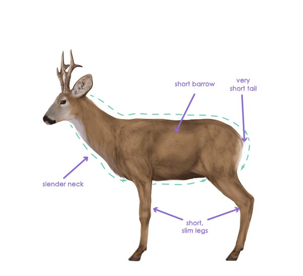 how to draw white tailed deer