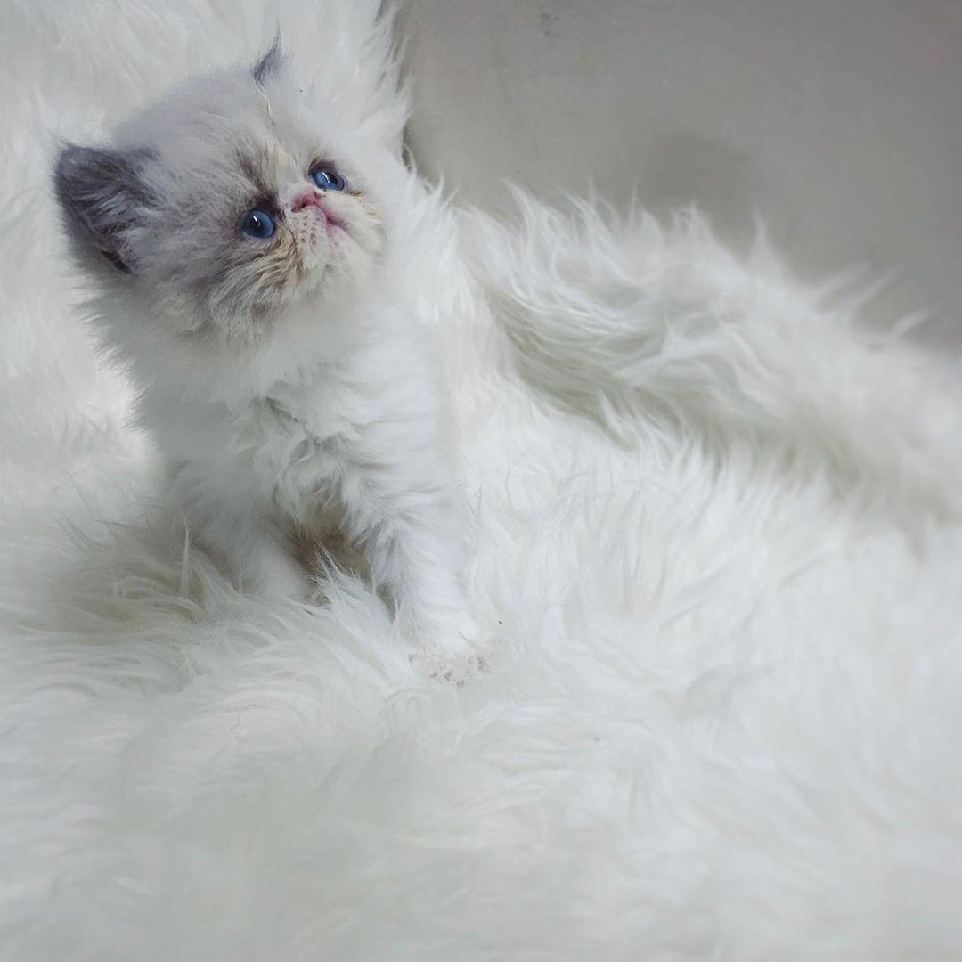 للحجز ذكر راغدول بيكي فيس تاريخ الميلاد 05 07 2019 الأب راغدول بيكي أصول بيرشن الام هيمالاي Cats Animals