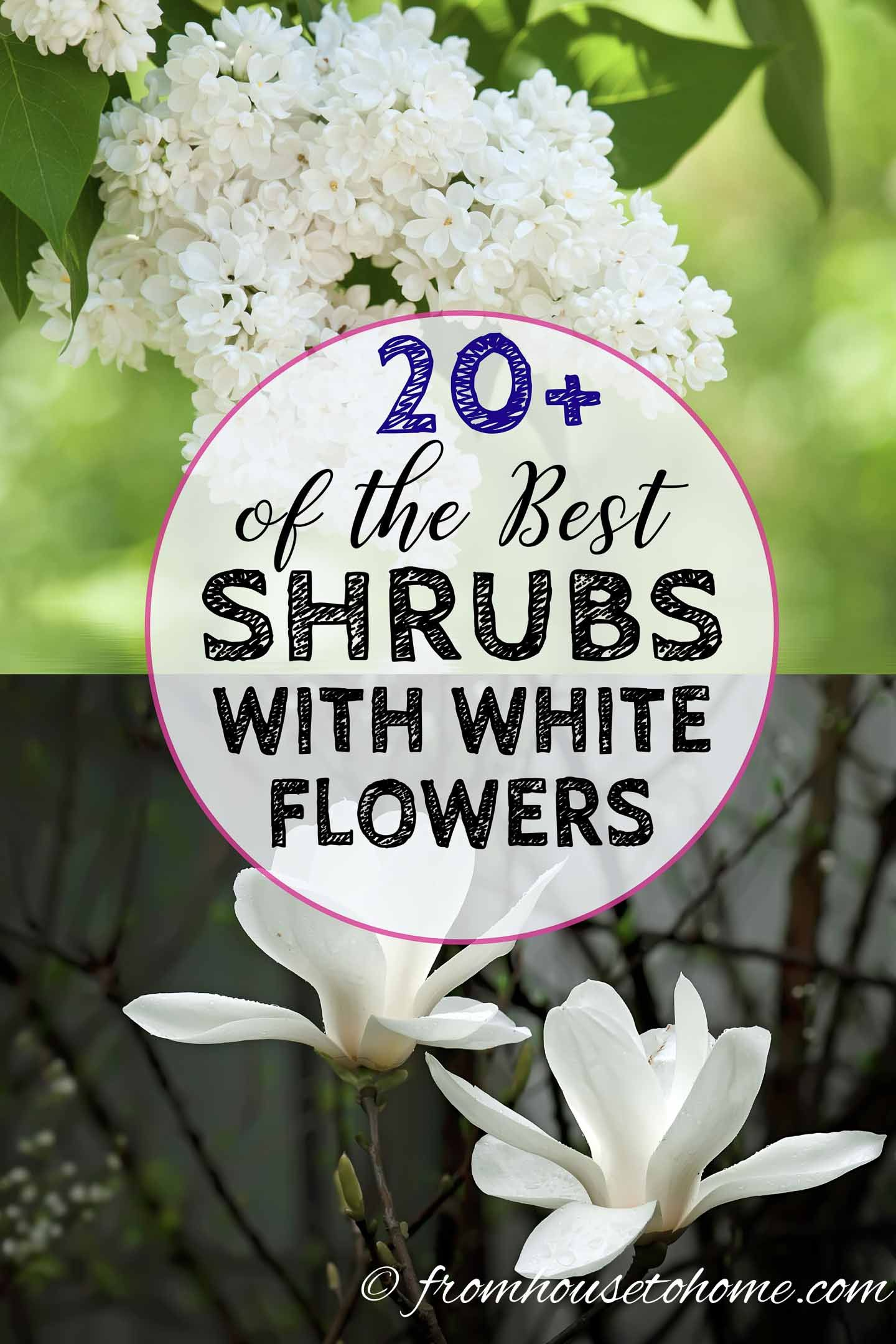 White Flowering Shrubs 20 Of The Best Varieties For Your Garden Gardening From House To Home White Flowering Shrubs Bushes And Shrubs Flowering Shrubs