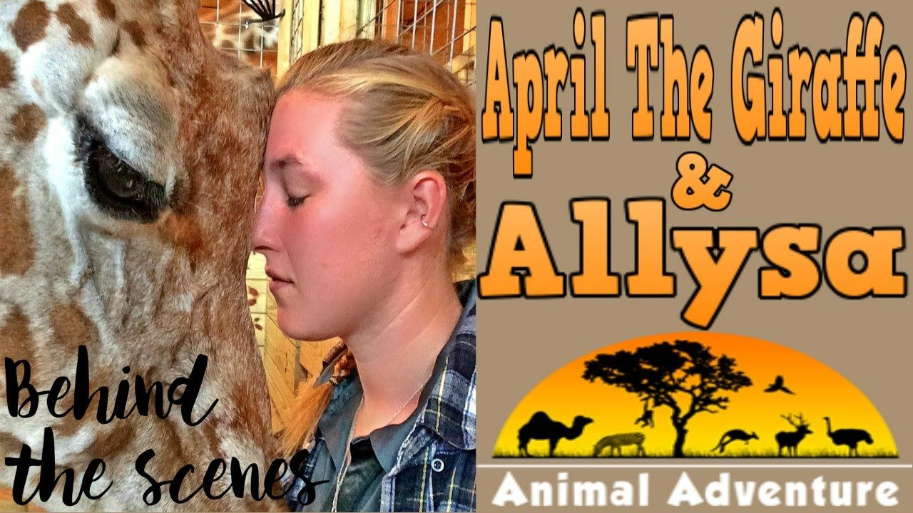 April the giraffe live cam youtube - Meet The Expectant Giraffe Behind The Viral Live Cam April Allysa Youtube