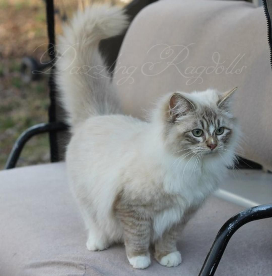 Chocolate Sepia Lynx Ragdoll Cute Cats Beautiful Cats Ragdoll Cat