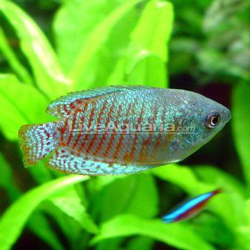 Neon Blue Dwarf Gourami Fish Freshwater Aquarium Fish Aquarium Fish
