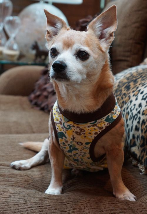 Our Chihuahua Godzilla Sports Our Barkitwear P Suit Dogdiaper