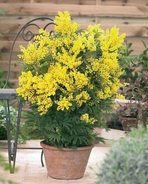 acacia dealbata mimosa online pflanzen bestellen new home plants pinterest garten. Black Bedroom Furniture Sets. Home Design Ideas