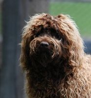 Louis Is A Tamaruke Labradoodle Purposely And Professionally