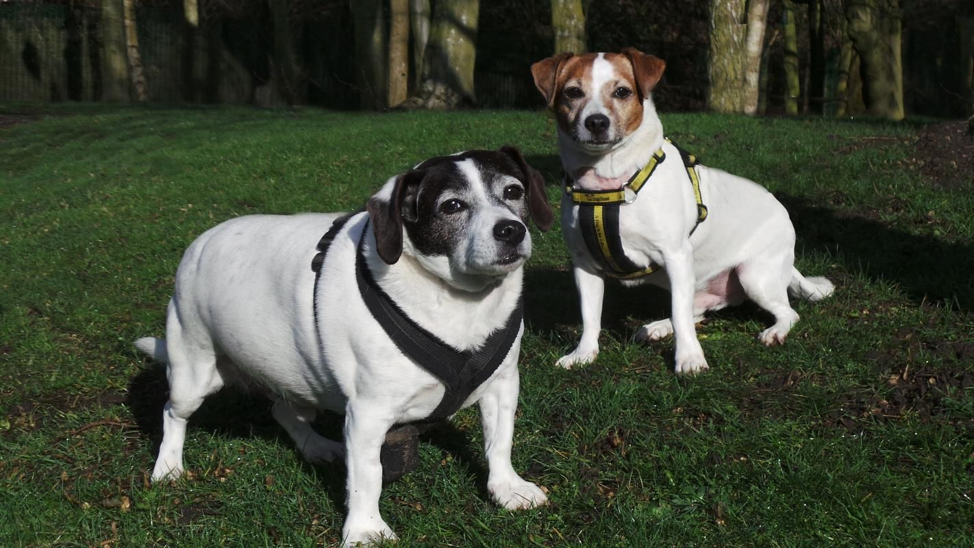 Rescue Dog Jack Russell Terrier Jrt Yoshi Dogs Trust In 2020 Dog School Rescue Dogs Dogs