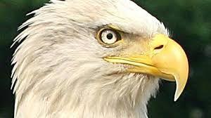 """Résultat de recherche d'images pour """"photo de l'aigle américain"""""""