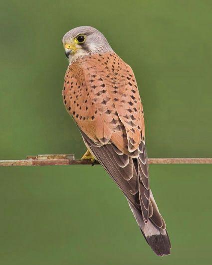 Bild: 12 – Vogelarten in der Schweiz: Turmfalke