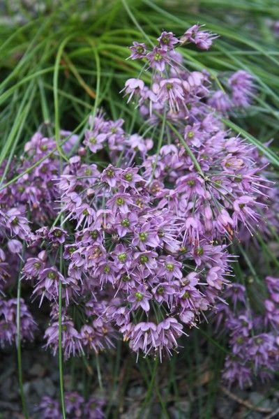 Allium Kiiense Fragrant Flowers Purple Flowering Plants Flowers Perennials