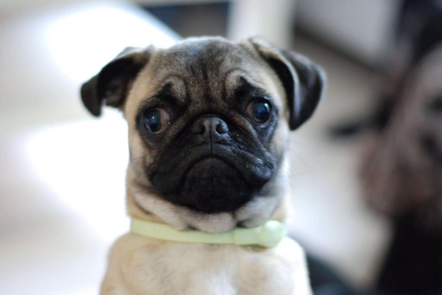 Our 6 Month Old Pug Bubby Cute Old Pug 6 Month Olds Pugs