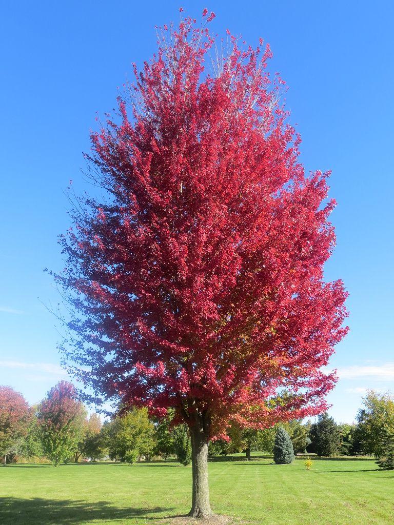 Acer X Freemanii Jeffersred Autumn Blaze Maple Zone 4 40 50