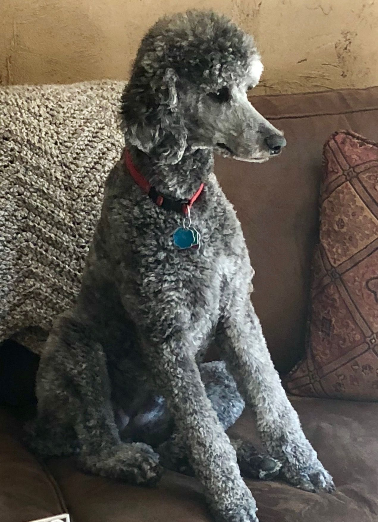 Zoey Standard Poodle Poodle French Dogs Cute Dogs