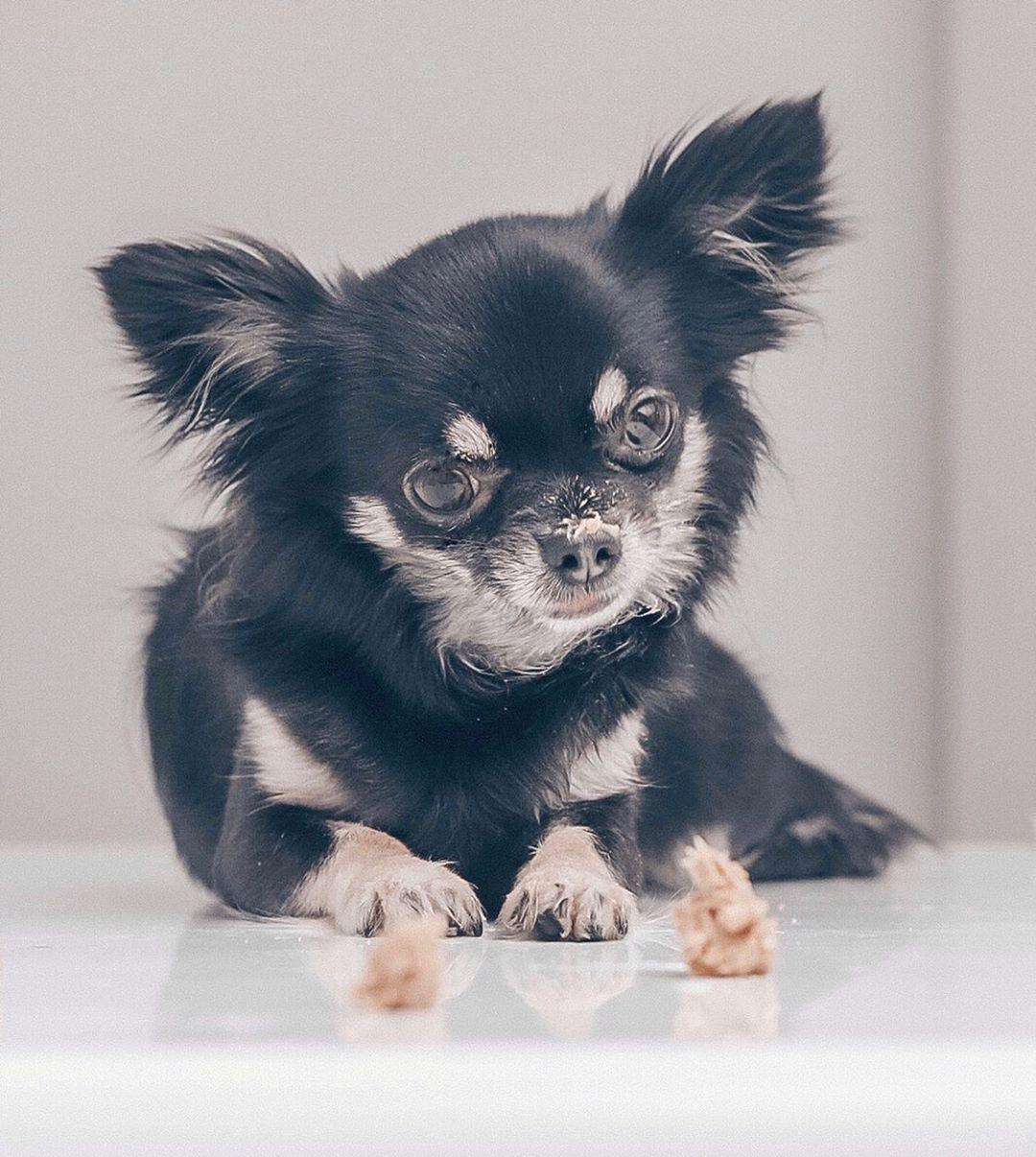 Chihuahua Kai On Instagram In Heaven Coz It S