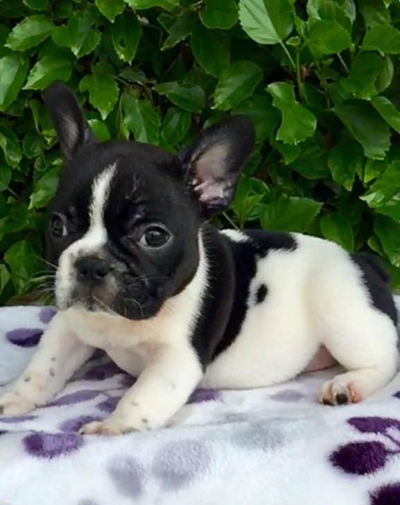 French Bulldog Imperial Female French Bulldog Puppy For Sale She