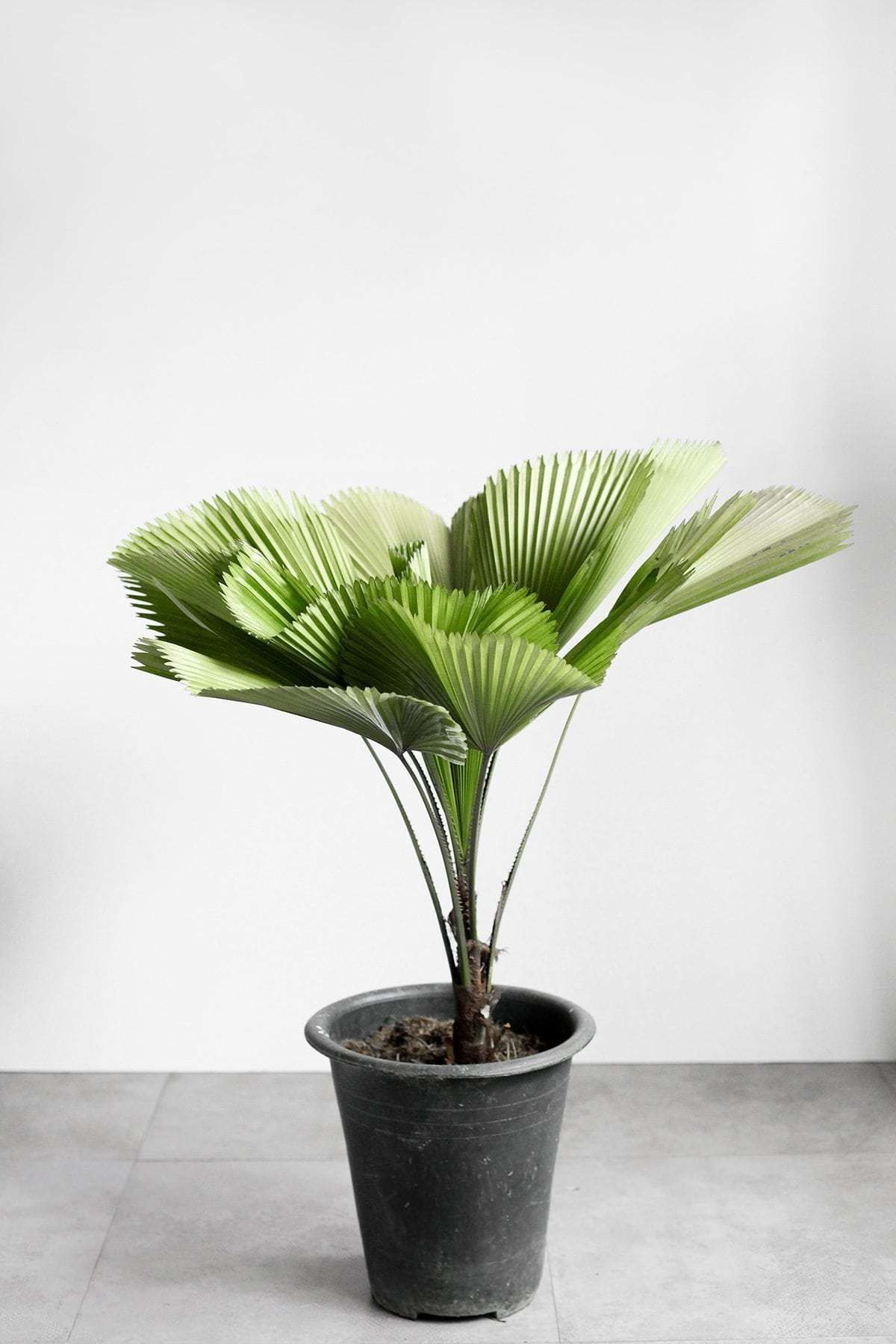 Licuala Palm Indoor Plants Philippines Plants Indoor Plants Outdoor Plants