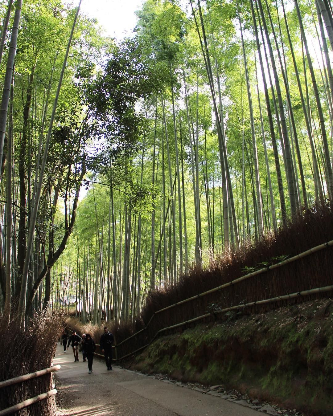 [New] The 10 Best Travel (with Pictures) -  Early morning visits are the best way to beat the crowds at this Bamboo Forest  . . . #kyoto #arashiyama #bambooforest #arashiyamabambooforest #japan #visitjapan #discovertokyo #japanawaits #discoverjapan #visitjpn #travel #traveldiaries #travelgram #travelphoto #travelphotography #travelpics #travel_captures #instagood #instadaily #instafollow #instagramhub #instatravel #photowalk #wanderlust #green #igerskyoto #kyototravel #kyototrip