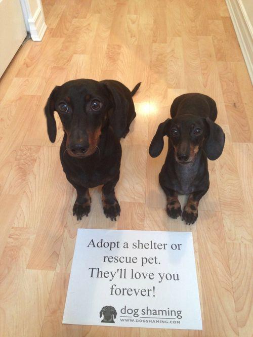 Adoptable Fridays Incentive Dachshund Dog Shaming Weenie Dogs