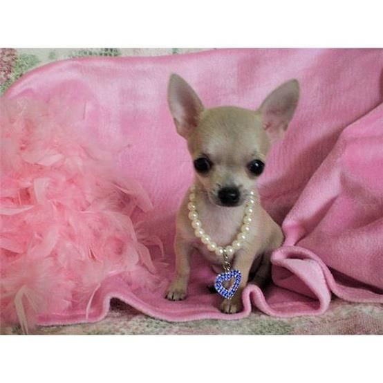 Chihuahuas From Facebook Teacup Chihuahua Puppies Chihuahua