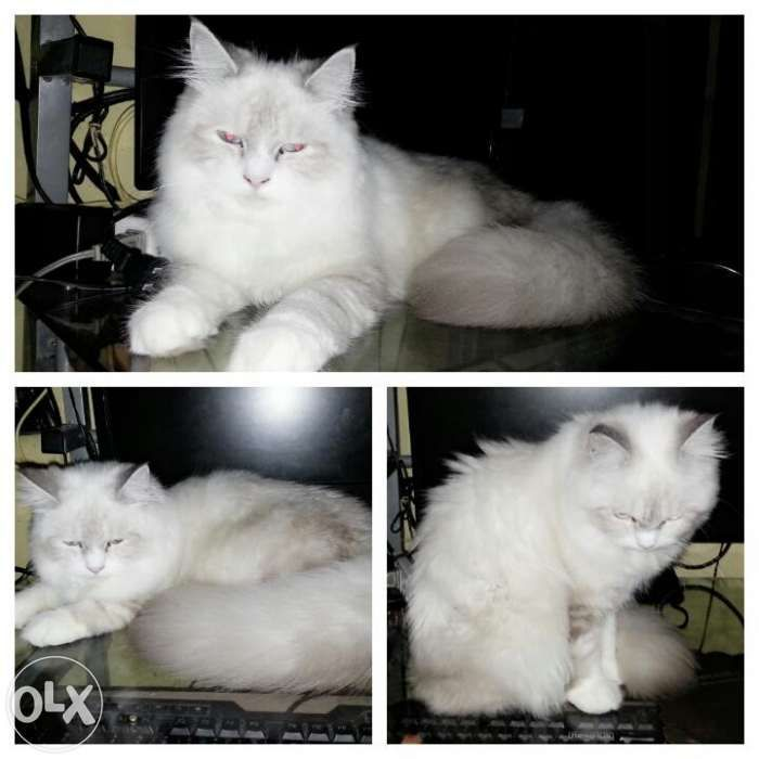 For Sale Persian Cat For Sale Philippines Find New And Used For