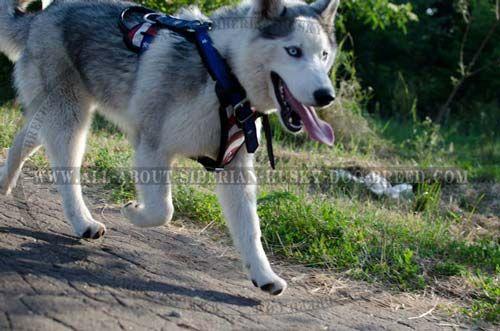 American Patriot Adjustable Leather Harness For Siberian Husky