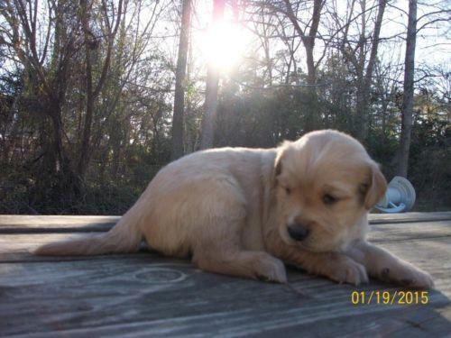 Akc Golden Retriever Male Puppy For Sale Golden Retriever Puppies