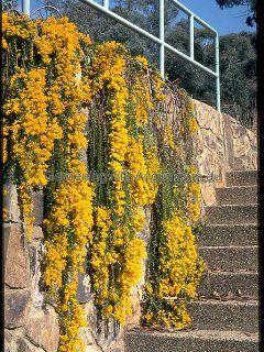 Acacia Cultriformis Cascade Sabo Wedding Plants Rock Garden