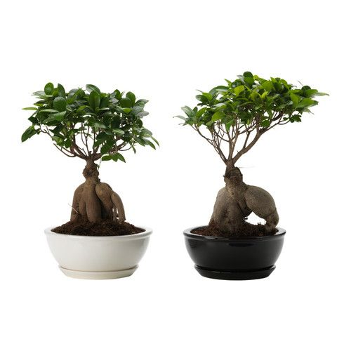 Ficus Microcarpa Ginseng Plant With Pot Ikea