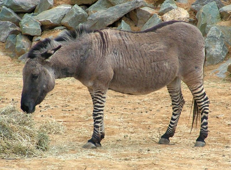 Equids (horse-like things) are fairly easy to intermix, and you can go more exotic by hybridizing zebras with donkeys to get zeeonks, donkras, and zonkeys, as in this picture. / via @John Powers