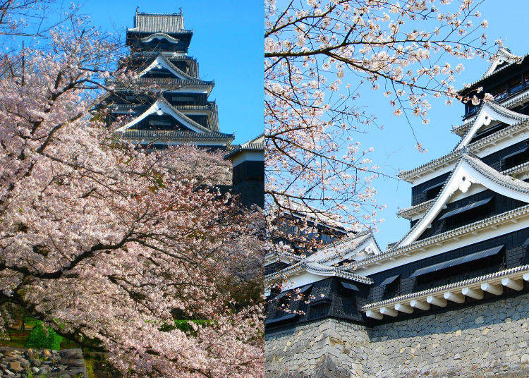 These 20 Weird Facts About Japanese Cherry Blossom Trees Will Make You Feel Instantly Smarter Live Japan Travel Guide In 2021 Japanese Cherry Blossom Japanese Nature Japan Travel Guide