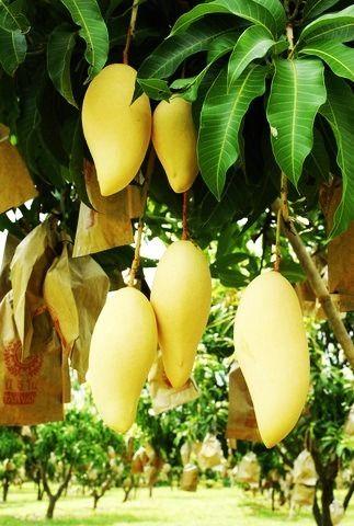 "Mango 'Nam Dok Mai' Early Cultivar (Mangifera indica) 20""Tall + Free Phyto Cert"