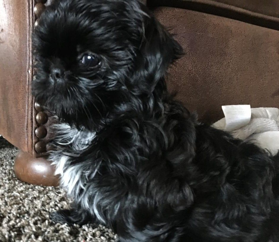 Luna As A Baby From Glory Ridge Shih Tzu Shih Tzu Dog Love Therapy Dogs