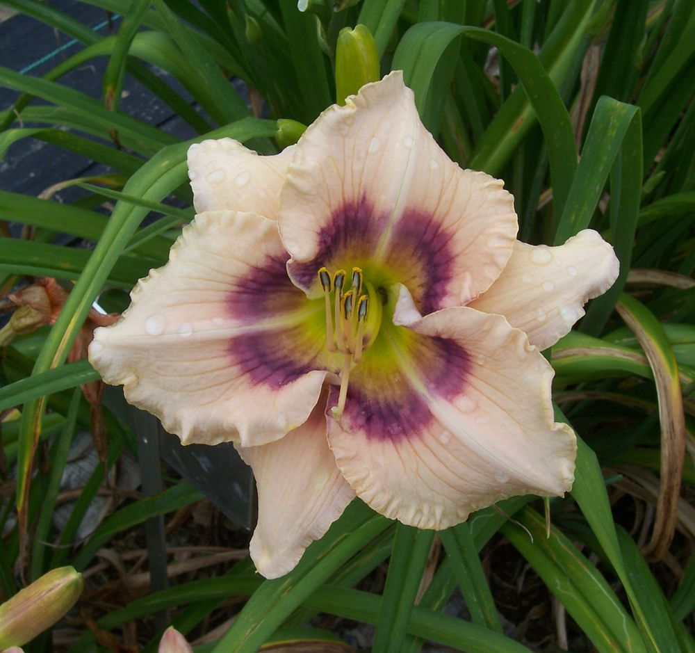 Daylily Plant Huckleberry Candy Flowers Pinterest