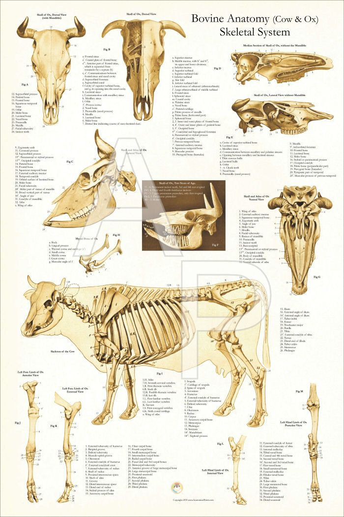 Bovine Anatomy Book