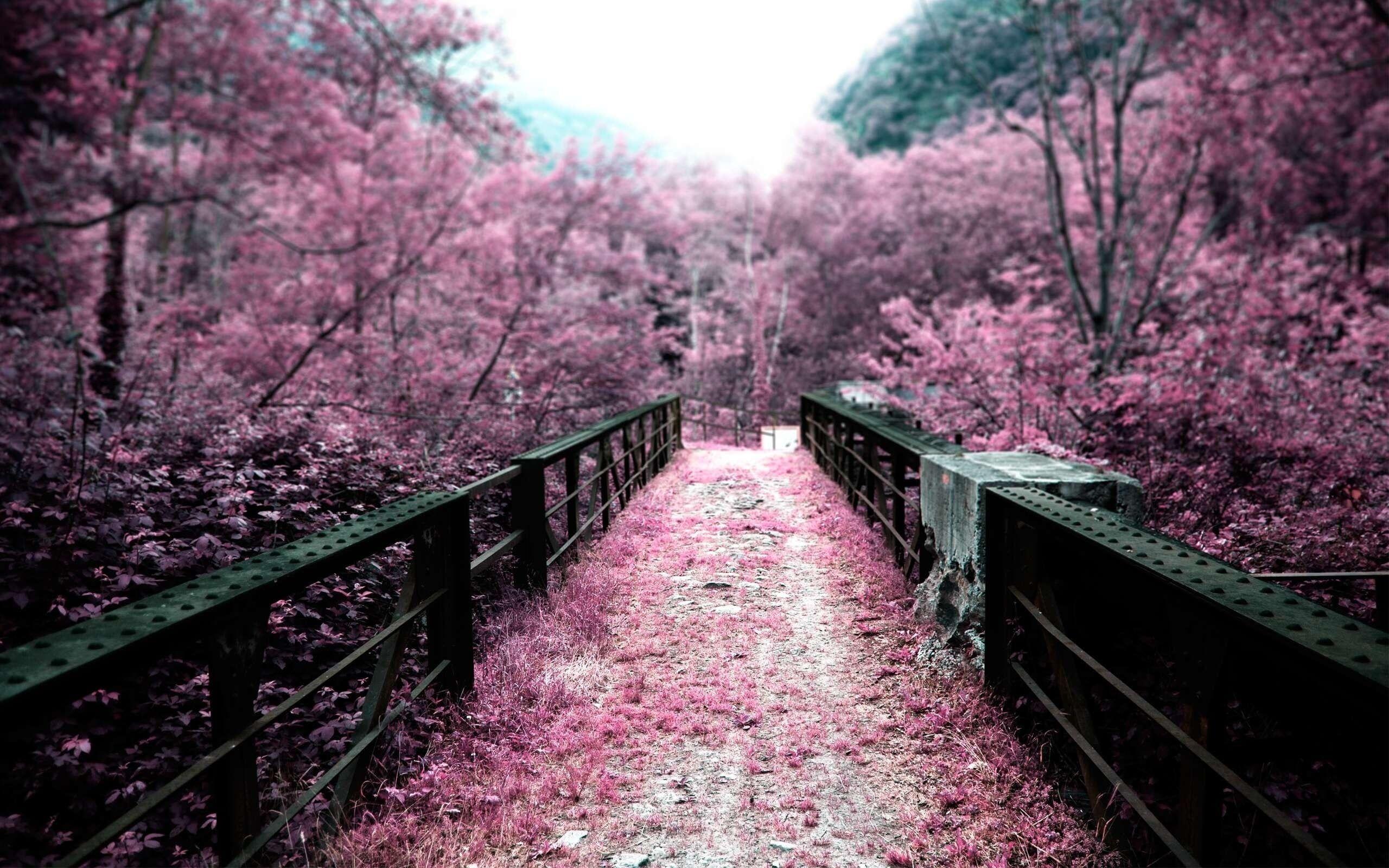 pink cherry blossom tree #pink #bridge ...