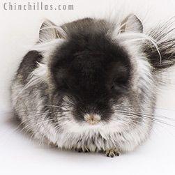 Chinchillas Com Chinchilla Auction Ritterspach Bred Chinchillas For Sale Chinchilla Pets For Sale Chinchilla Pet