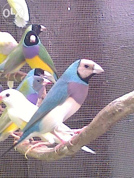 Gouldian Finches For Sale Philippines Find New And Used Gouldian