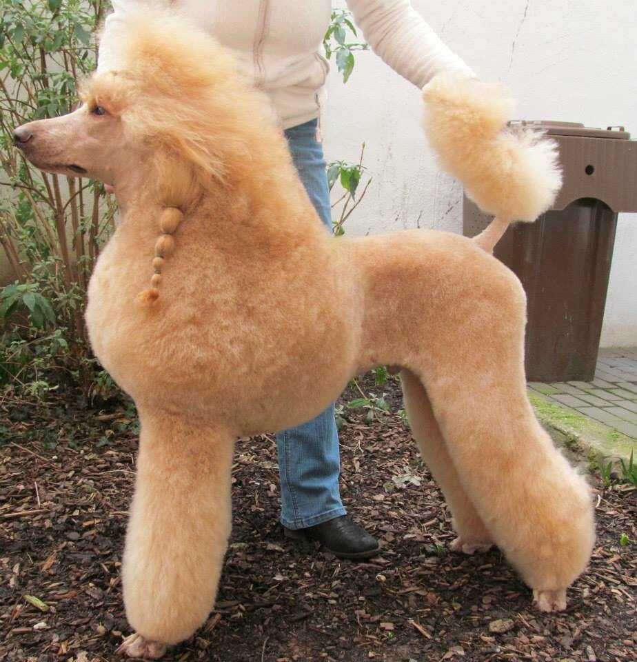 Poodle Trim Poodle Grooming Dog Grooming Styles Dog Grooming