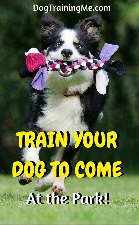 How To Train Your Dog To Come At The Park Dog Training Dog
