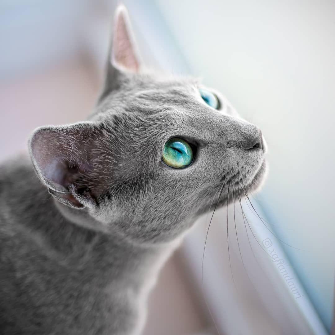 russian blue cat - 926×926