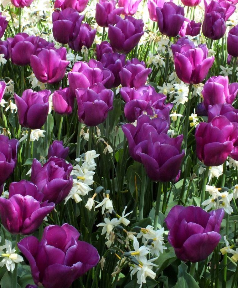 triumph tulip passionale this huge lilac purple tulip has dark