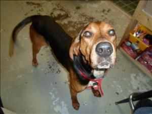 Todd Marshal Coonhound Dog Duluth Mn Dog Sounds Coonhound Cute Animals
