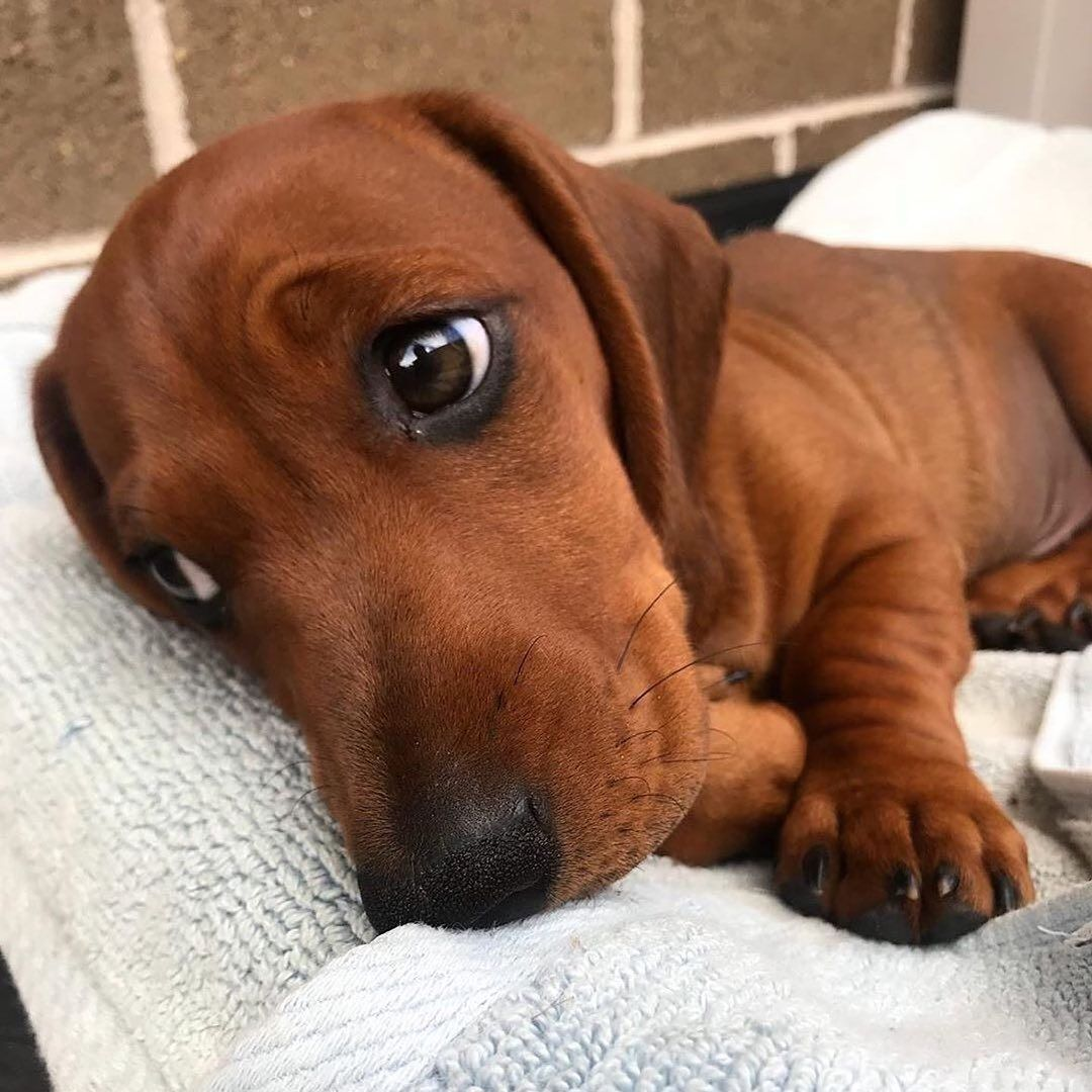 Dachshund Products, Apparel and Gifts Cute baby animals