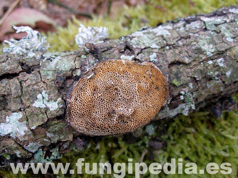 Dichomitus campestris es un hongo del orden Poriales también conocido como Antrodia campestris, .. ver más información.