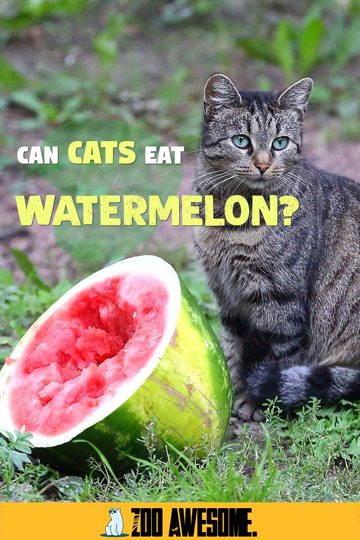 Can Cats Eat Watermelon? in 2020 Cat nutrition, Cat