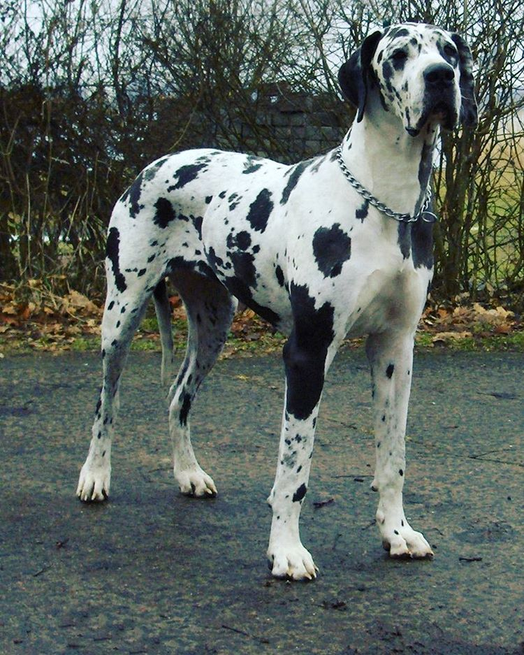 I Want One Of These Majestic Creatures Known As Great Danes They
