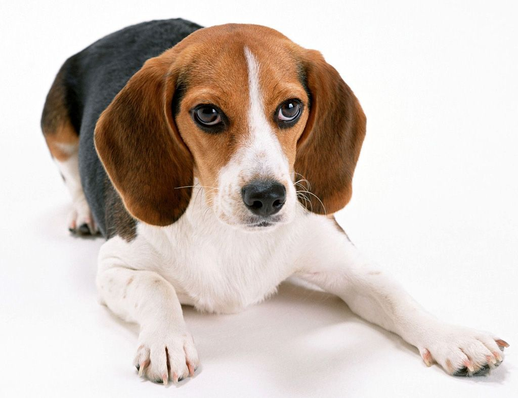 Beagle Information And Interesting Beagle Facts Petsync Beagle