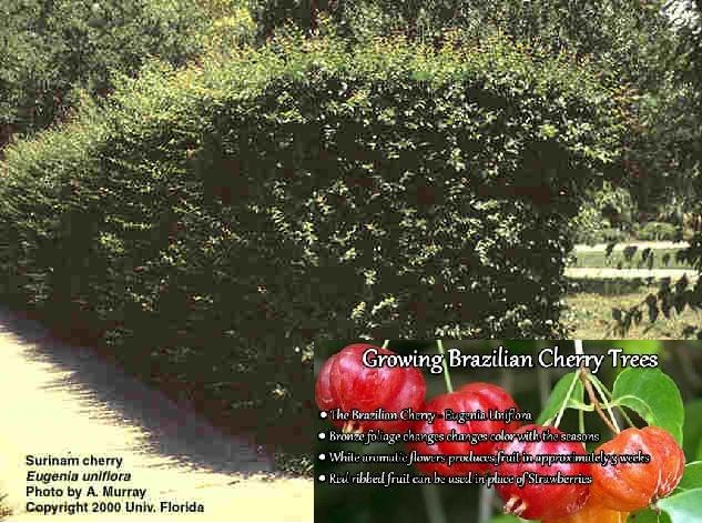 Suriname Cherry Hedge Darker Fruit It Sweeter Crushed Leaves Repel Flies Outdoor Gardens Fly Repellant Hedges